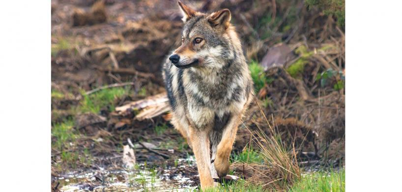 magnifique loup en Bretagne